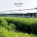 uji tea field
