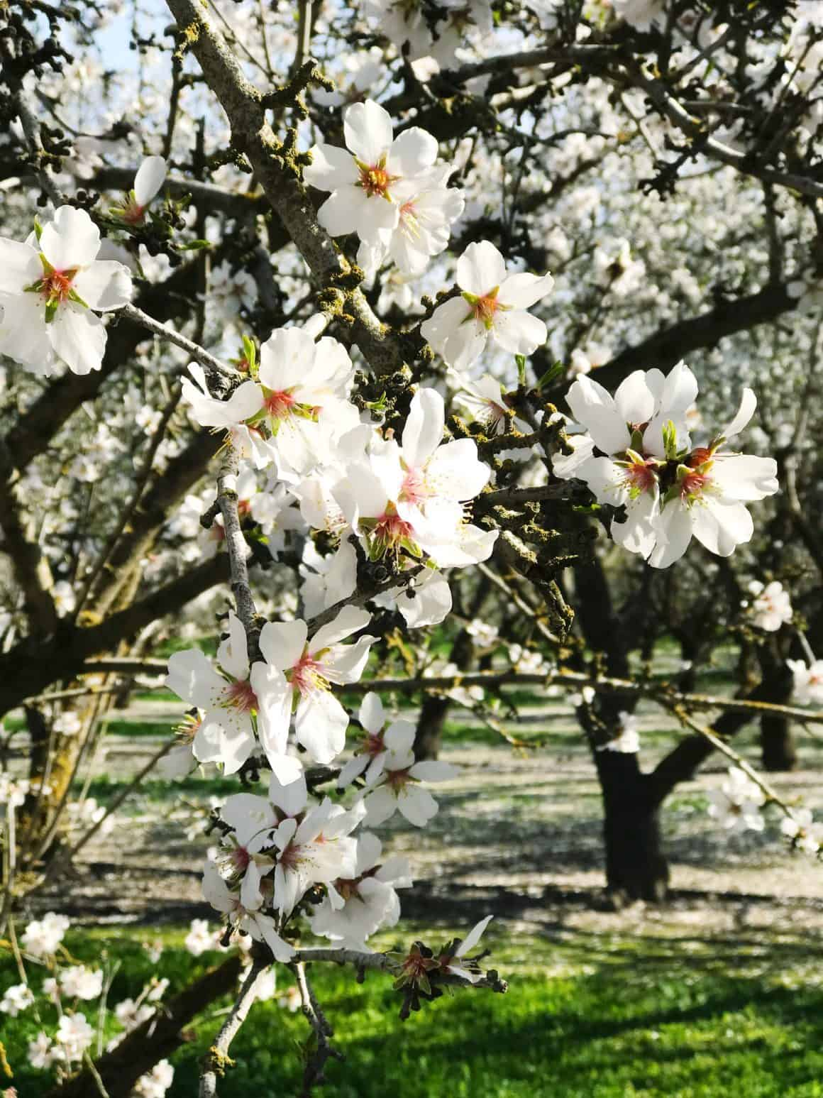 Almond Breeze Orchard Tour